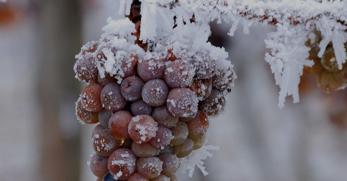 Photo of VINO DE HIELO, UN TESORO CONGELADO